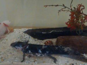 Aquarium mit zwei Axolotln