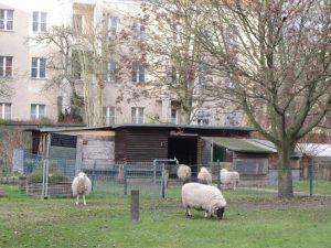 Fünf Schafe und Stallungen vor Mietshäusern